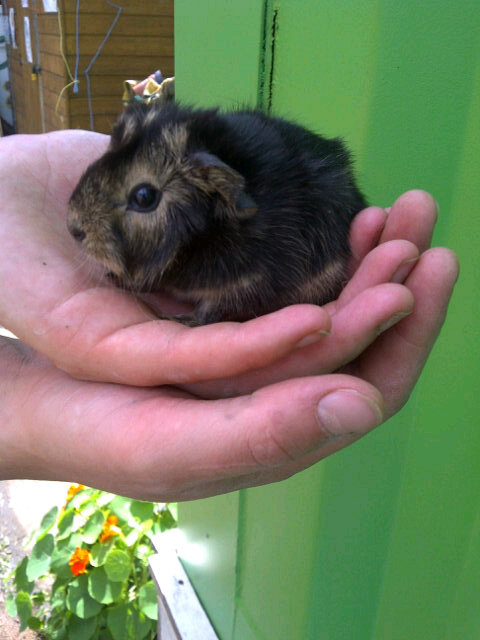Baby guinea pig at Stepney City Farm, London